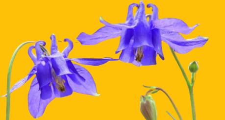haseki çiçeği nedir?