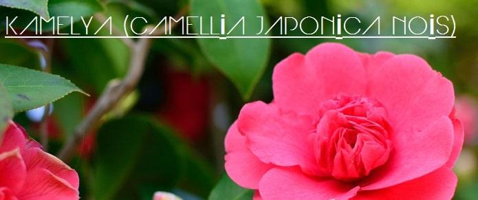 kamelya çiçekleri, kamelya gülü, japon çiçeği