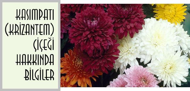 kasımpatı çiçeği hakkında bilgiler