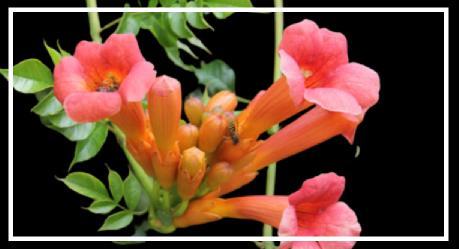 kırmızı çiçekler açan bitki