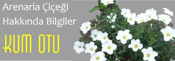 kum oto çiçeği arenaria