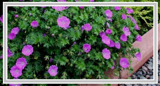 mezarlıklarda kullanılan çiçekler