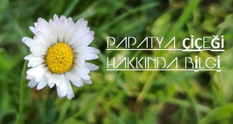 papatya çiçeği hangi hastalıklara iyi gelir?