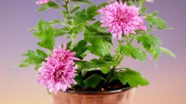 saksıda kasımpatı çiçeği