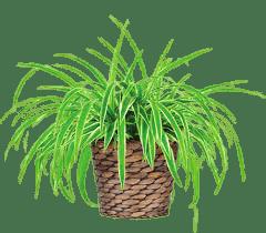 saksı çiçeği bakımı ve ilaçlama