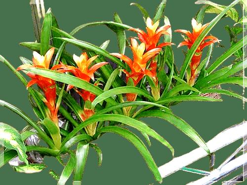 saksıda kırmızı yıldız çiçeği bakımı