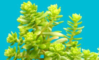 sedum çiçeği