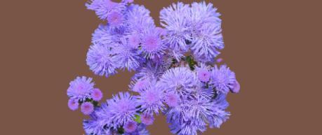 vapur dumanı çiçeği bakımı