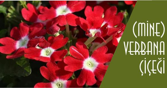 verbana çiçeği resimleri