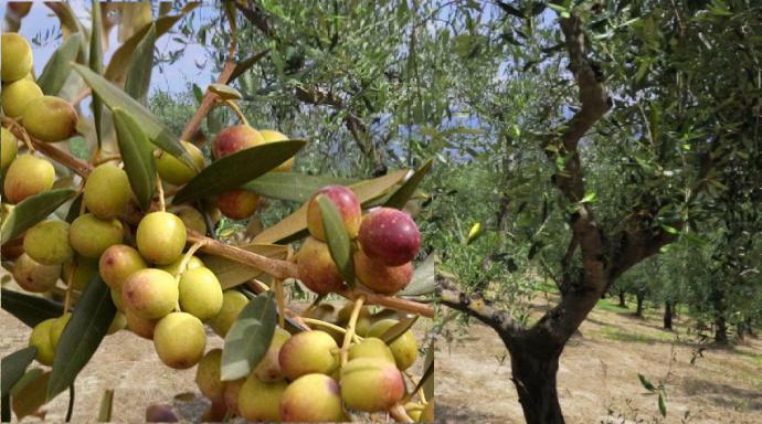 zeytin ağacı budama vakitleri