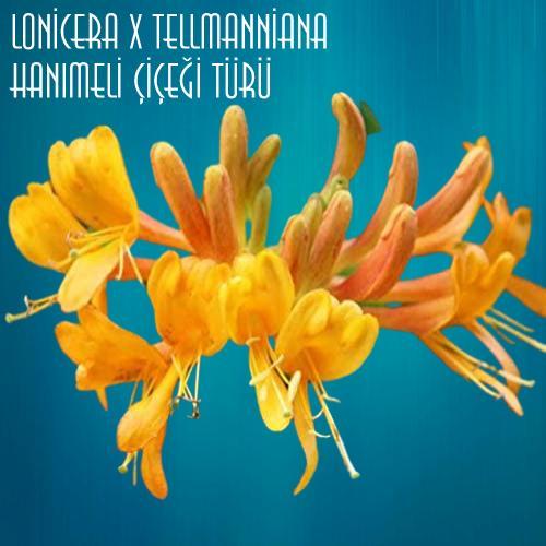 Lonicera x tellmanniana