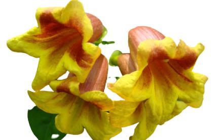 acem borusu çiçeği budama