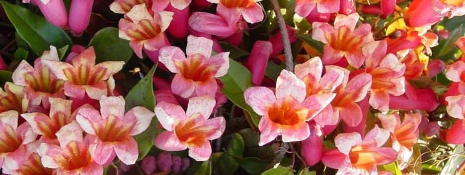 acem borusu çiçeği çeşitleri