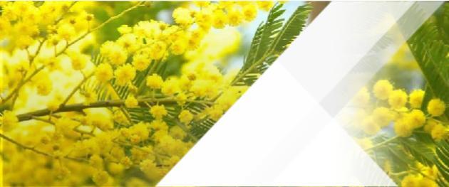 akasya ağacı çiçekleri