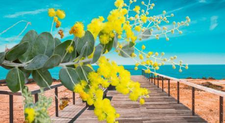 akasya çiçeği bakımı
