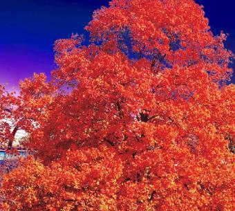 amerikan meşe ağacı