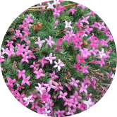 antalya endemik bitkisi