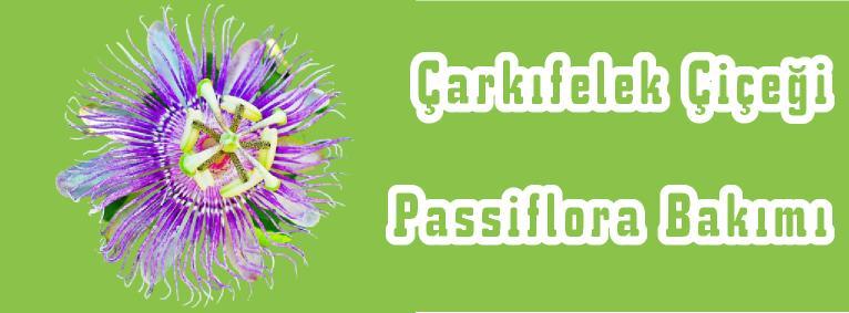 çarkıfelek çiçeği nasıl bakılır nerede yetişir