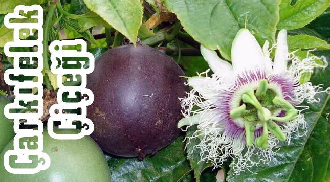 çarkıfelek meyvesi