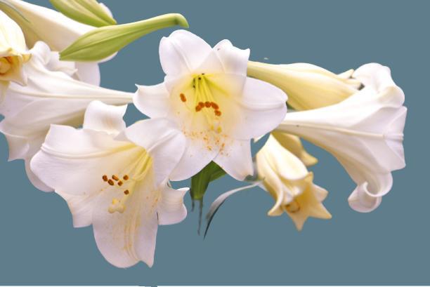düğün çiçeği beyaz zambak