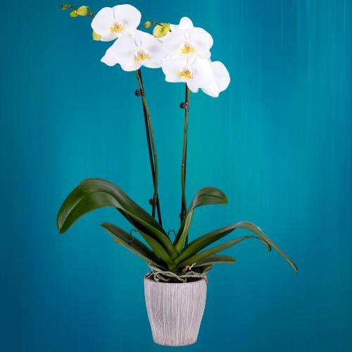 düğüne gönderilen çiçek çeşitleri beyaz orkide
