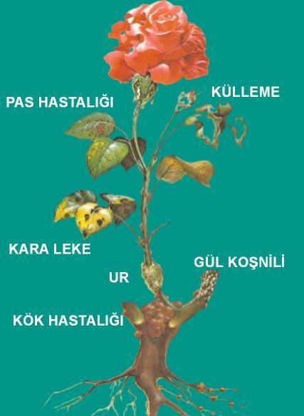 güllerde görülen hastalık çeşitleri nelerdir