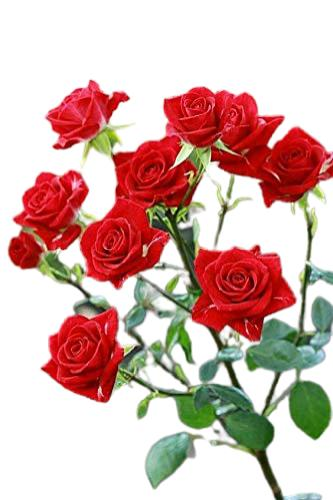 güllerin sıralı isimleri