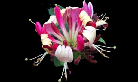 hanımeli çiçeği bakımı
