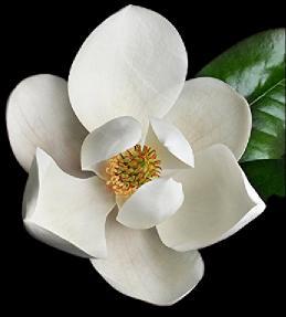 iri çiçekli manolya