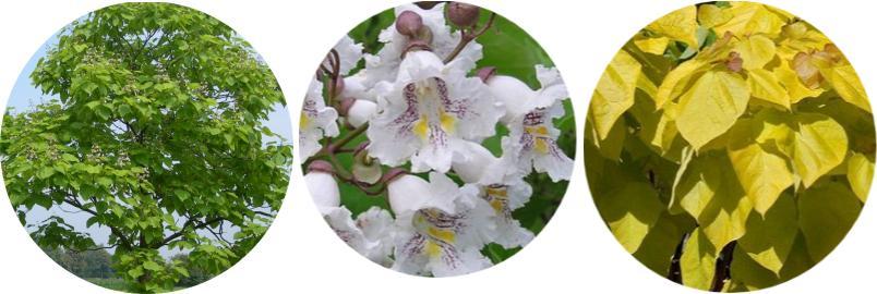 katalpa, puro, sigara, catalpa ağacı yaprağı ve çiçeği