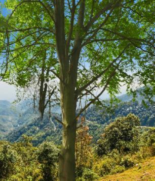 kayın ağacı nedir