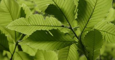 kayın ağacı yaprağı