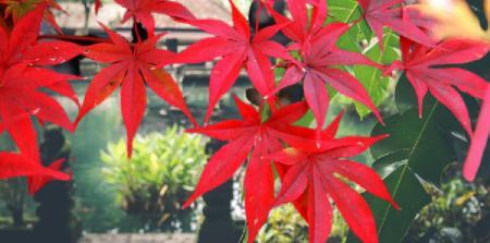 kırmızı akçaağç yaprakları
