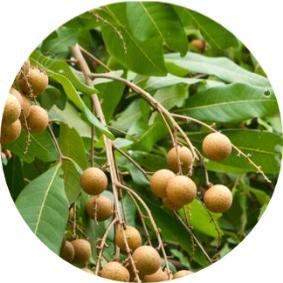 longan meyvesi türkiye