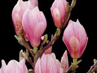 manolya ağacı çiçekleri