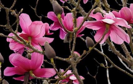 manolya ağacı