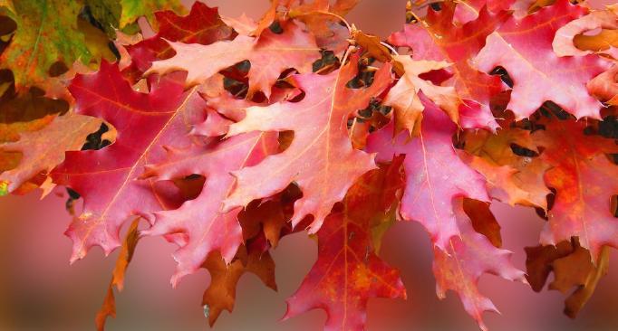 meşe ağacı yaprağı