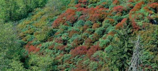 orman çalı çileği