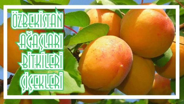 özbekistan da yetişen bitkiler