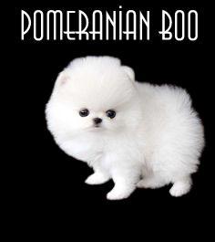 pomeranian boo fiyatları