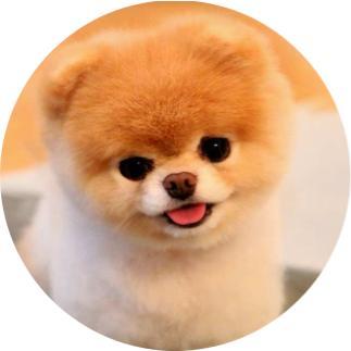 pomeranian boo nedir, pomeranian köpek türleri