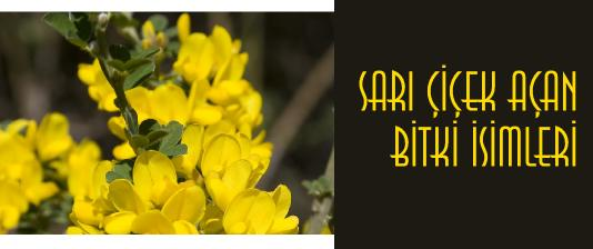 sarı çiçek açan ağaç ve bitki