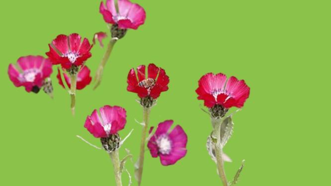 sevgi çiçeği bakımı nasıl yapılır
