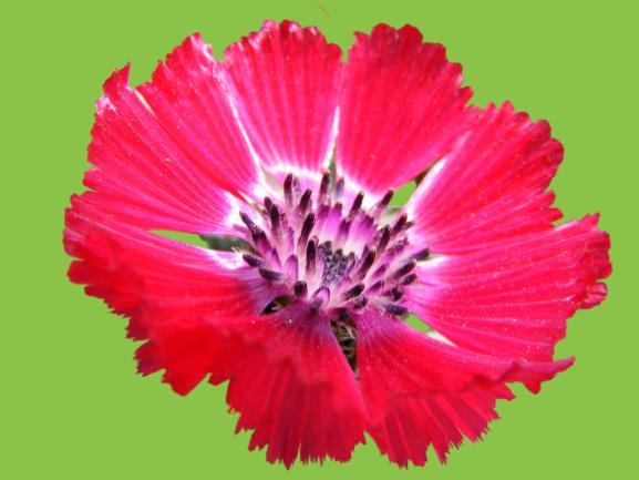 sevgi çiçeği hakkında bilgiler