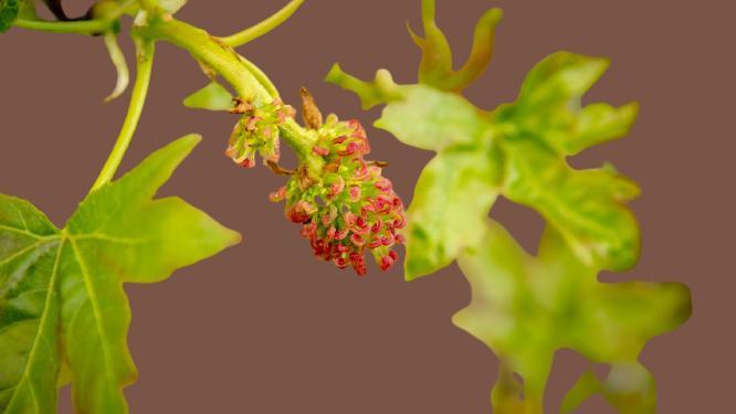 sığla ağacı meyvesi çiçeği