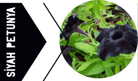 siyah petunya çiçeği