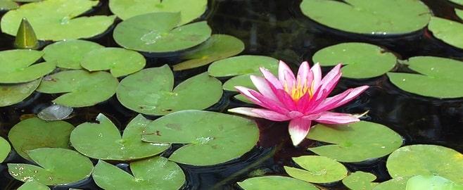 su bitkisi zararlıları nelerdir