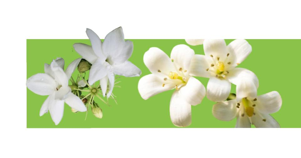 yasemin Jasminum çiçeği