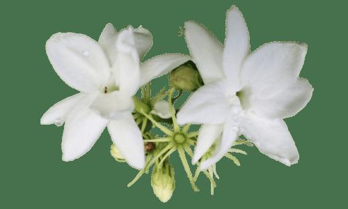 yasemin çiçeği budama