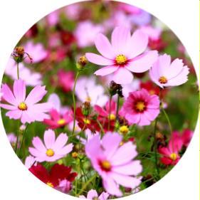 yazlık çiçek isimleri